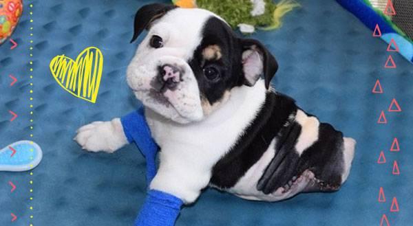 Meet Bonsai: Half a Bulldog, Twice the Love!