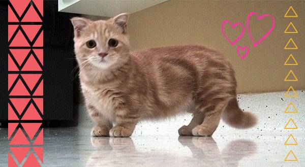 Say Hello to the Newest Breed of Internet Star: the Munchkin Cat