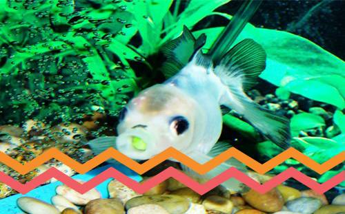 Disabled Goldfish Harness a New Lease on Life, Thanks to Human Ingenuity